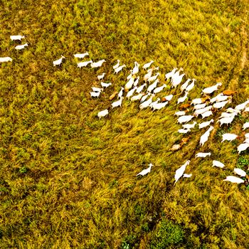 安徽廬江:稻茬田里養山羊