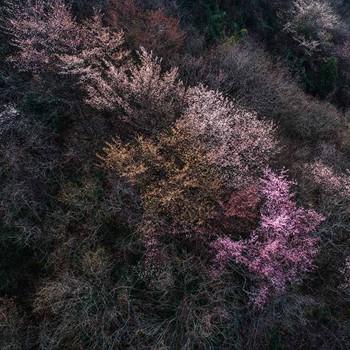 不负好春光 六安漫山野樱花