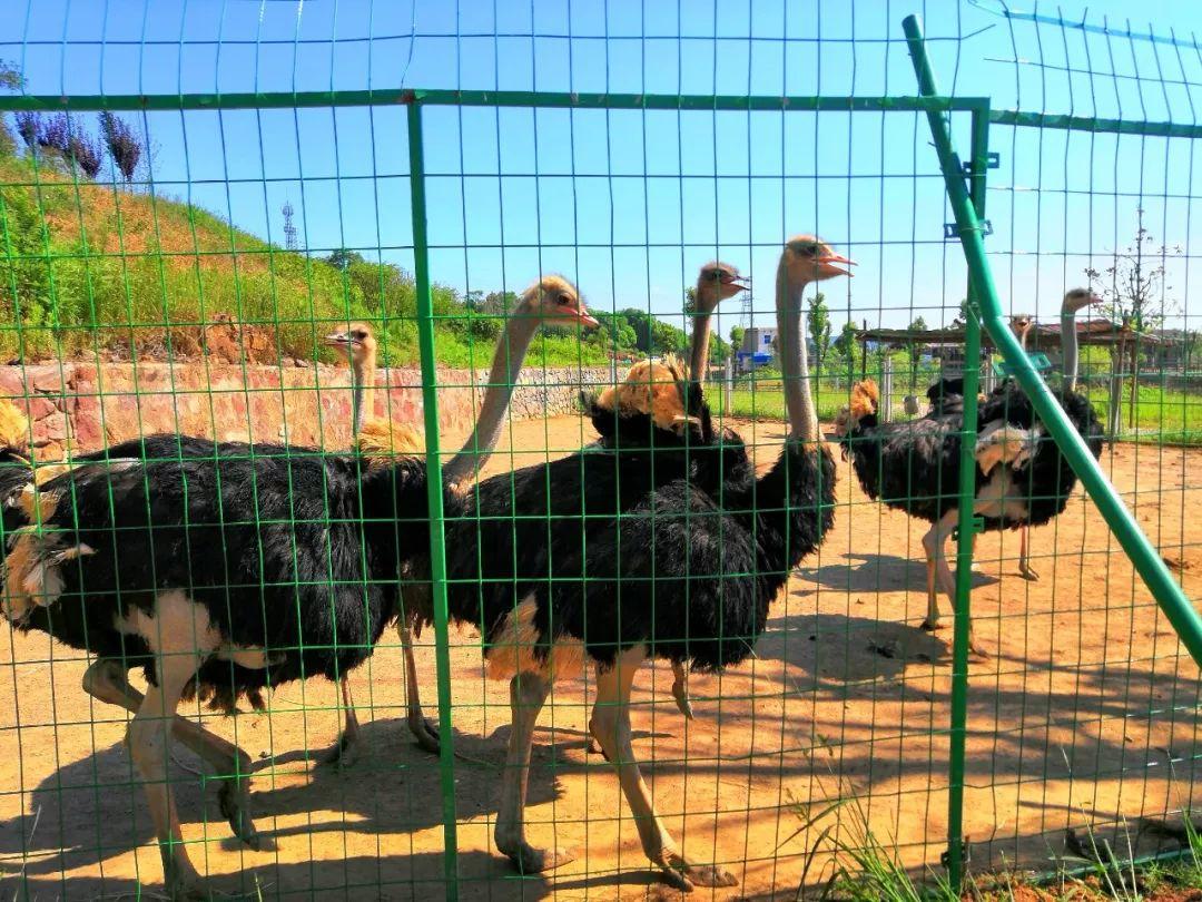 小熊猫,斑马,长颈鹿等珍稀动物来马鞍山安家了 10月1日有望开园