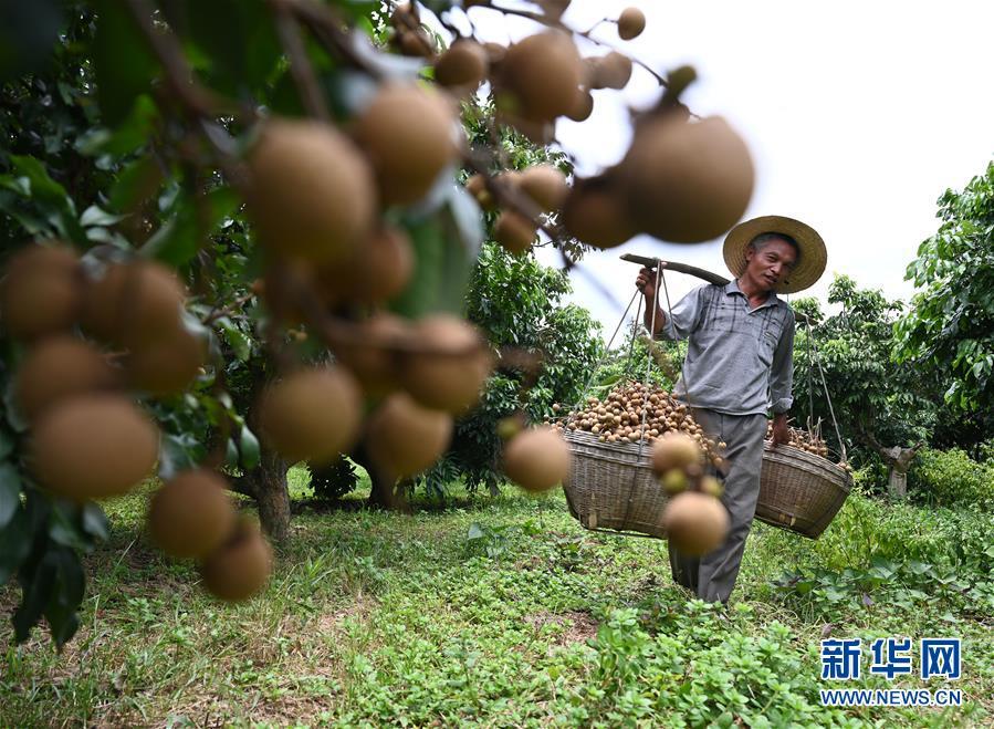 #(经济)(4)广西柳州:龙眼上市采摘忙