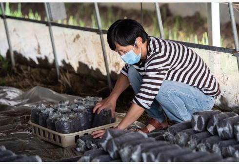 在县域经济发展过程中,地方要立足本县资源优势。图为2020年3月23日,在湖南长沙县高桥镇扶贫产业基地,工作人员在摆放已植入菌种的菌包。