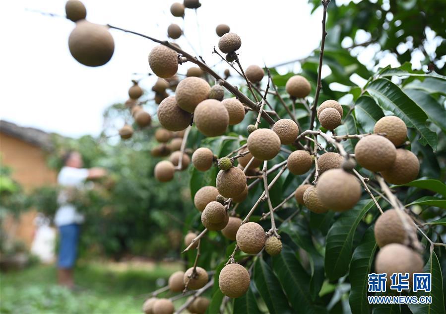 #(经济)(6)广西柳州:龙眼上市采摘忙