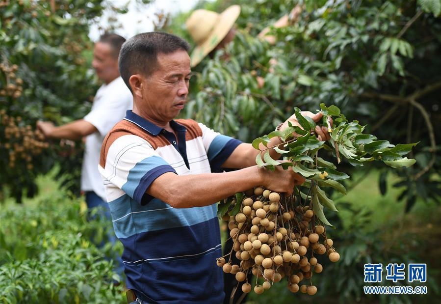 #(经济)(2)广西柳州:龙眼上市采摘忙