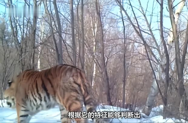 吉林天桥岭发现野生东北虎新个体