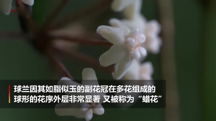 """云南发现新物种""""高黎贡球兰"""""""