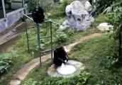 黑猩猩洗衣服,你见过吗?