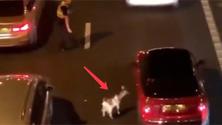高速上溜进一只羊…风骚走位让警察追了90分钟