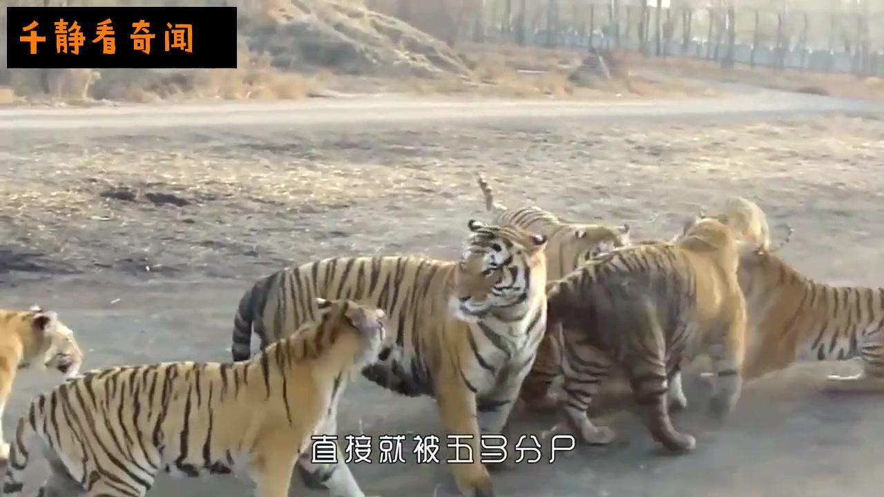 被送进老虎园不甘心被吃,正面和老虎