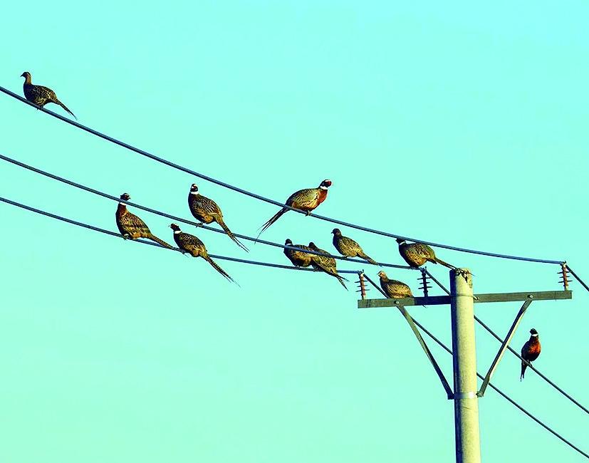 <strong>在望奎洼的自然覆盖区,成群的野鸡沿着</strong>