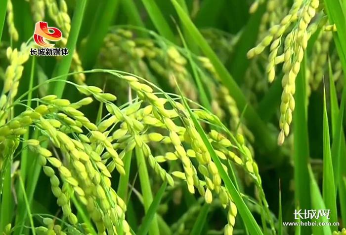 3涿州:盛产贡米的好地方 涿州邵村贡米