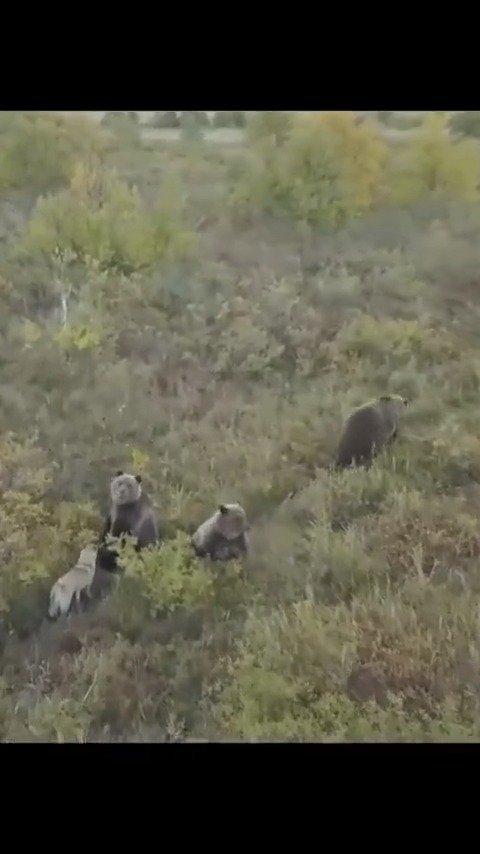 一位大爷的猎狗走丢了,通过无人机发现这二货竟跟黑熊拜把子