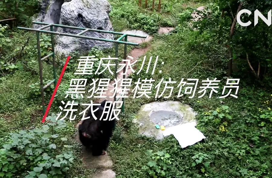 重庆永川:黑猩猩模仿饲养员洗衣服