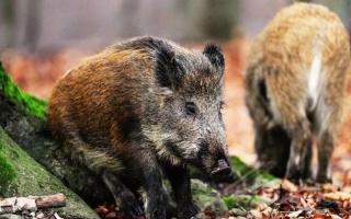 三只猎狗拼命攻击野猪,野猪用獠牙还击,猎狗却死战不退