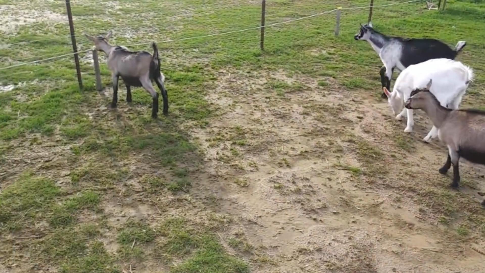 羊圈刚打开,一只绵羊就迫不及待冲了出去,下一秒请忍住不要笑