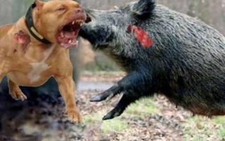 莽撞的比特犬一头撞向野猪,反被野猪顶到空中旋转360度