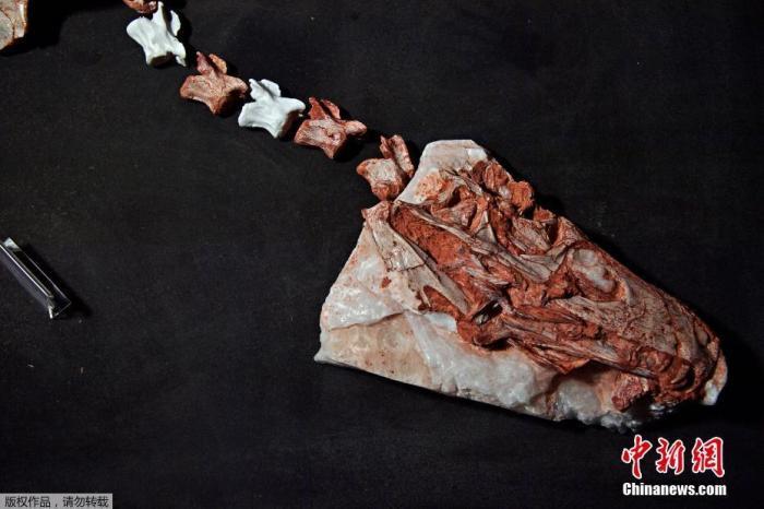 巴西南部出土三叠纪恐龙化石 距今已有2.3亿年(图) 三叠纪恐龙