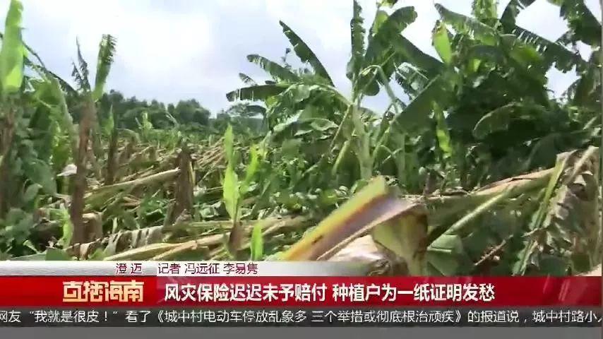 大风突袭澄迈,仅半个小时千亩香蕉园被毁,买的保险却得不到赔付-__凤凰网
