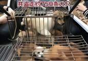 从今年5月开始作案,偷了约750条狗的两名偷狗贼被抓获