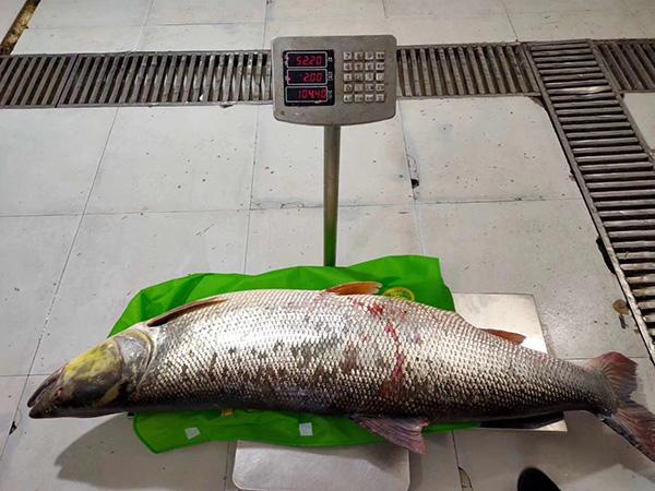 富贵百年能几何�h鱼生活在江河、湖泊的中上层