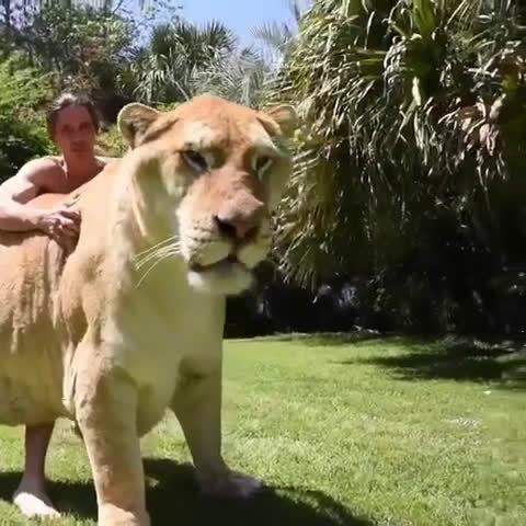 狮虎兽,最大的猫科动物