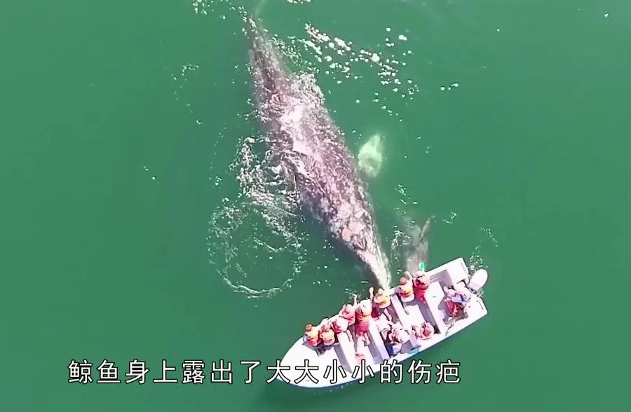 鲸鱼母子向人类求救,看清鲸鱼身体后,所有人的脸色都青了