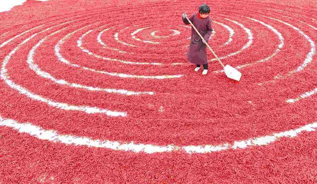 阳谷高庙王:火红的辣椒,火红的生活
