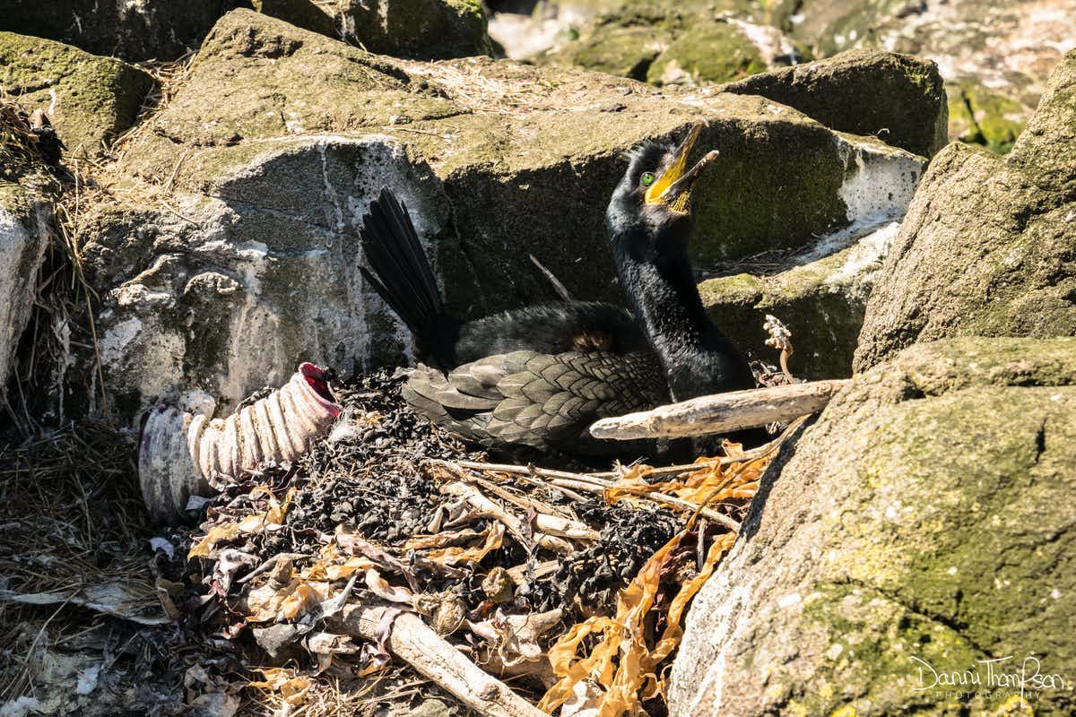 【百度竞价技巧】_海洋污染通报:废弃塑料垃圾不仅进入海鸟胃里,还大量出现在海鸟巢穴
