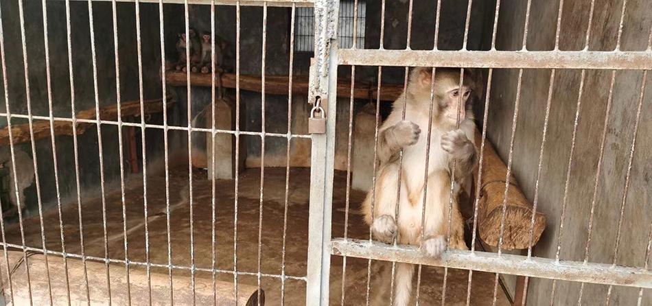 养殖场里的猕猴 澎湃新闻记者 段彦超 摄