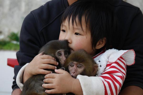 2014年10月,河南省新野县鲍湾村,2岁的于佳鑫怀抱着两只小猕猴坐在父亲腿上。村里的孩子大都从小就与猴子非常亲近。 澎湃新闻记者 徐晓林 摄