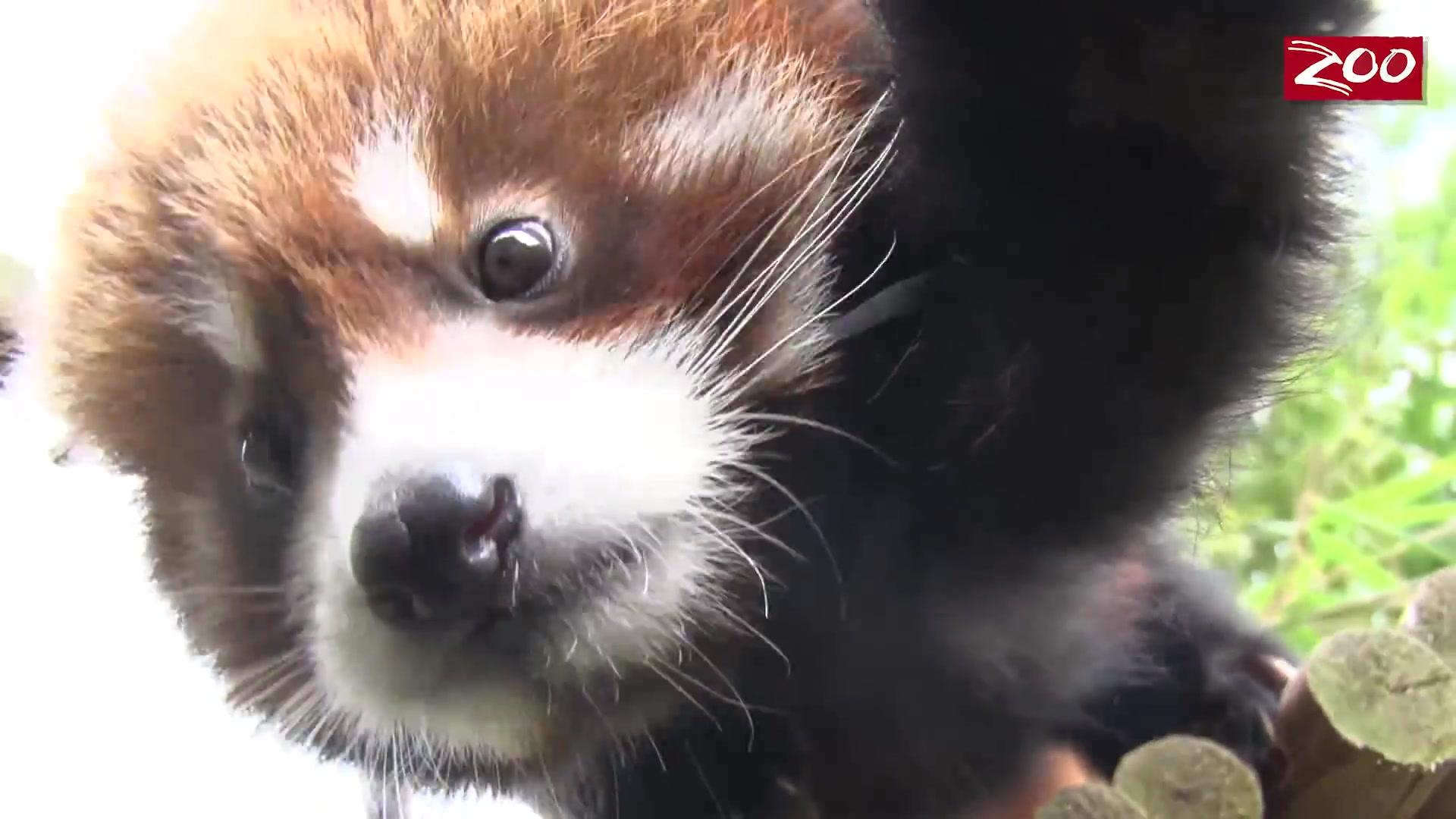 【小熊猫】哥伦布动物园的小熊猫,来吸