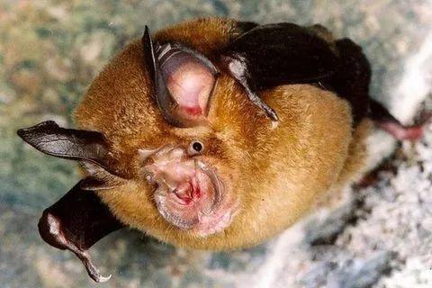 媒体:石正丽团队两年前已发现蝙蝠冠状病毒感染人现象