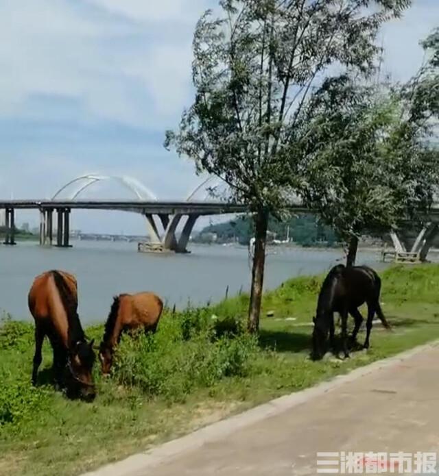 飼養在株洲湘江風光帶的馬匹