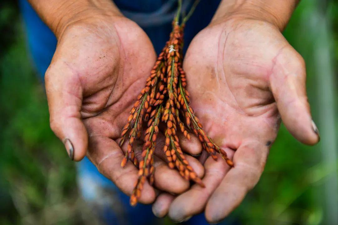 2020年8月13日,在吉林市孤店子镇春新农场,农民观察试种的彩色稻米生长情况。新华社记者许畅 摄