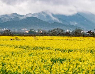 """新余雨后""""金色""""田园 呈现别样乡村美景"""