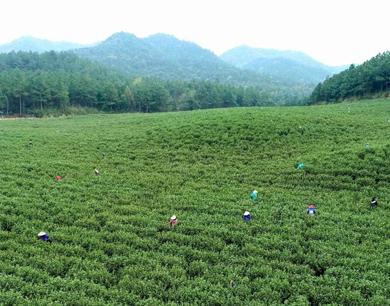 峡江:茶场迎来采摘高峰 茶农赶制春茶忙