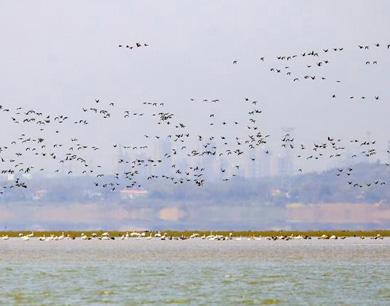 鄱阳湖越冬候鸟集结北飞