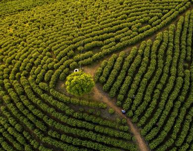 江西都昌:黄金茶开采