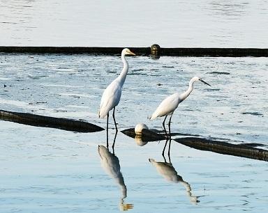 金银湖上白鹭飞