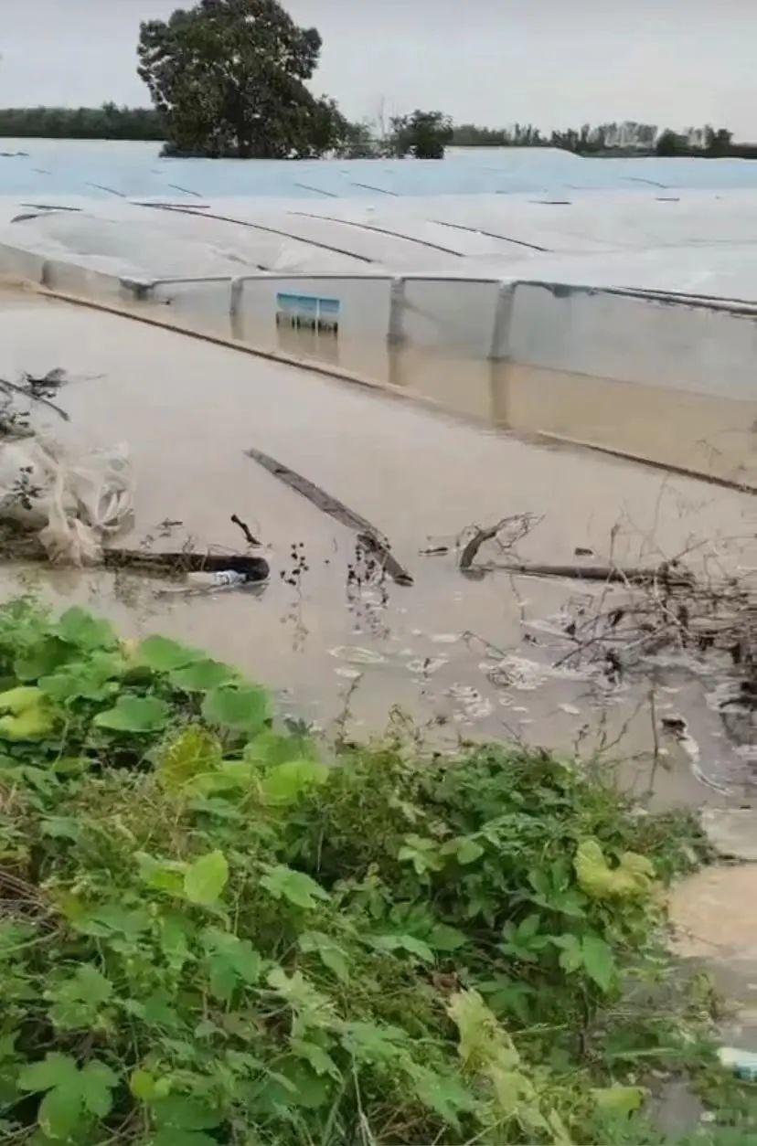 严通村部分地区,水位已接近大棚顶部 图片/受访者提供