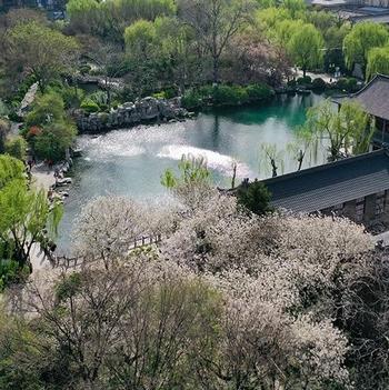 济南五龙潭畔樱花绽放,樱雨缤纷