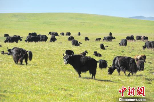 图为甘南州分分快3分分快3技巧技巧 合作 市草原风景如画。 崔琳摄