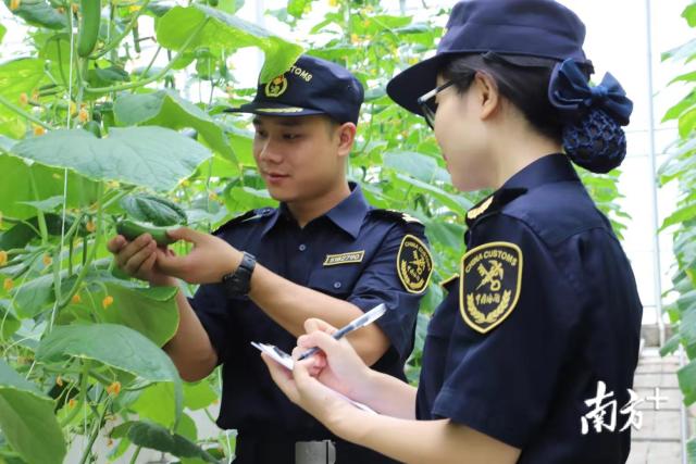 河源海关工作人员实地检查蔬菜生产情况。