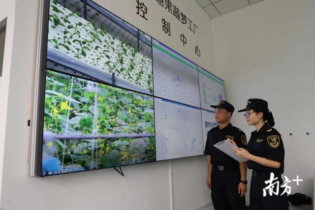 河源海关工作人员通过电子屏幕实时监督蔬菜基地。