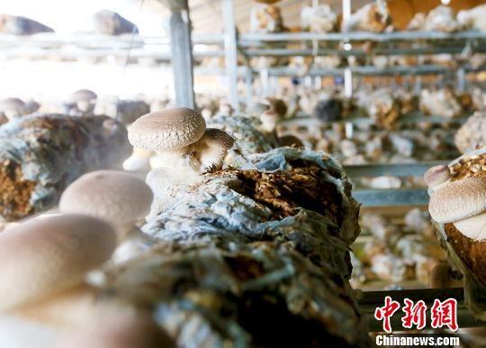 图为天祝藏族自治县移民农户在自家大棚管理出菇。 高展摄