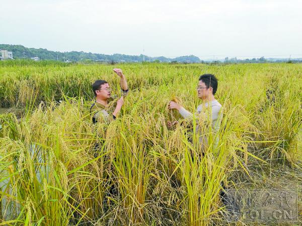 与人比肩的水淹稻(巨型稻)。(白杨摄)