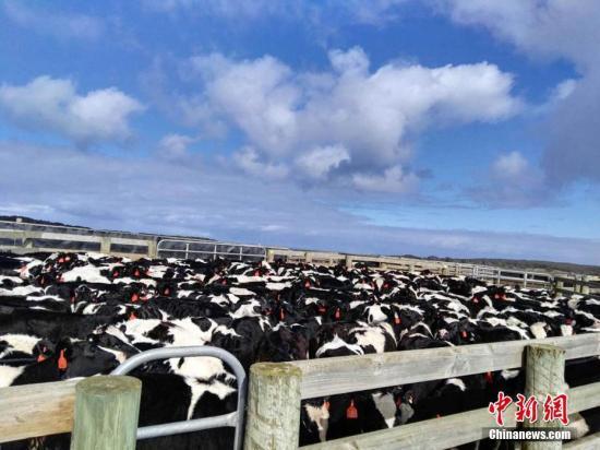 资料图:奶牛。