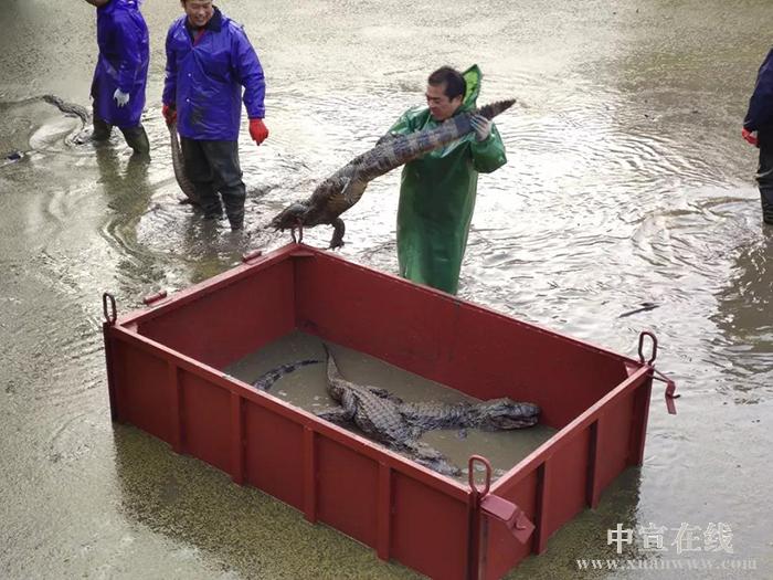 冬天真的来了!宣城这个保护区的扬子鳄进行转场越冬