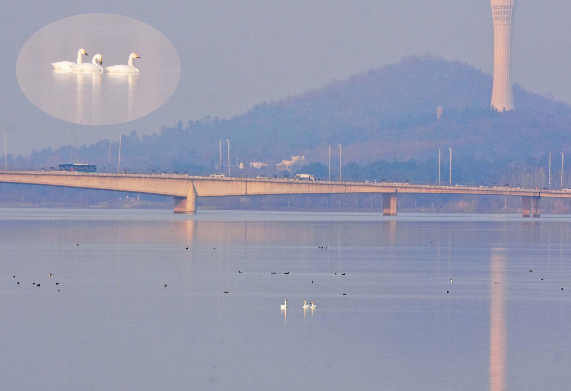 快看!蚌埠龍子湖迎來候鳥小天鵝