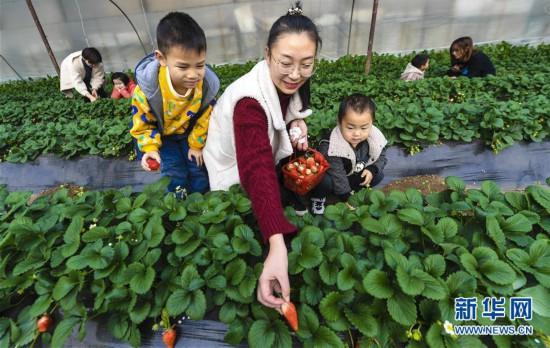 (经济)(1)河北香河:冬季草莓诱宾客
