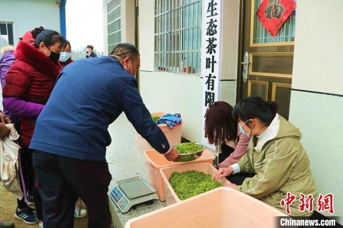 采茶工将采摘的茶叶送到收购点称重。 盛鹏摄